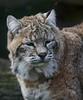 DOZY (babsbaron) Tags: nature animals tiere cats katzen raubkatzen bigcats luchs rotluchs lynx redlynx tierpark zoo berlin