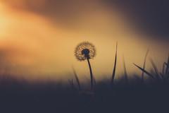 Shadowplay (der_peste) Tags: bokeh dandelion sunset colors silhouettes shadow light dof depthoffield blur