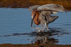 Late afternoon splashing (bodro) Tags: bolsachica bird birdfishing birdphotography droplets ecologicalreserve egret lastraysofsun lateafternoonlight reddish reflection shallows splash wetlands wingsup
