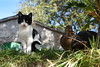 i miei cari amici (Mara Miao) Tags: cats nature leaves grass campaign animali cute funny tender love animals kittens gattini gatti pets animalidomestici papera duck campagna erba cuccioli puppies putties belfortedelchienti macerata marche morning sun sky funy giocherelloni