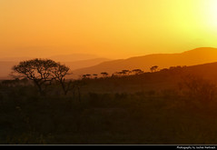 Sunset, Hluhluwe-iMfolozi National Park, South Africa (JH_1982) Tags: hluhluweimfolozipark hluhluwe imfolozi park national nationalpark np pn parque nacional parc nazionale 赫卢赫卢韦–印姆弗鲁兹公园 landscape nature scenery scenic silhouette silhouettes tree trees sky evening yellow orange red sun glow sunset ocaso sonnenuntergang coucherdesoleil pôrdosol tramonto закат zonsondergang zachódsłońca solnedgång solnedgang auringonlasku apus залез matahariterbenam mặttrờilặn 日落 日没 غروب kwazulunatal kwazulu natal south africa rsa za südafrika sudáfrica afrique sud sudafrica 南非 南アフリカ共和国 남아프리카 공화국 южноафриканская республика جنوب أفريقيا game reserve parco