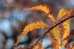Otoñal 3 (Ce Rey) Tags: otoño autumn trees leaves bokeh flickrchallengegroup flickrchallengewinner colors light backlight efsmacro60mm macro60mm