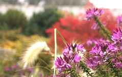 (farmspeedracer) Tags: october autumn herbst fall bokeh red pink flower plant fleur floral 2016 garden park white bush