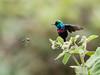 Red-chested Sunbird/Cinnyris erythrocercus (odileva) Tags: lakebunyonyi august oiseaux redchestedsunbirdcinnyriserythrocercus lake bird uganda nature ndorwa westernregion ouganda ug