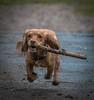 Juno's anti gravity stick (paullangton) Tags: walk spaniel countryside run canon
