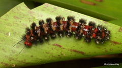 Hairy caterpillar (Ecuador Megadiverso) Tags: andreaskay caterpillar ecuador hairy