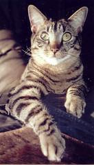 My dear cat Nicholas, RIP (bidutashjian) Tags: cat pet tabby nikon fm2 35mm film light