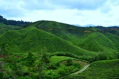 where we get our tea from (Jamila Hajam) Tags: cameron highlands tea tee plantage plant nature natur green