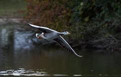 Bar-headed goose / oie a tete barree (2/2) (Franck Zumella) Tags: bird oiseau oie goose geese animal nature fly flying voler vol white blanc barhead head bar tete barree barre flight