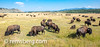 Herd of American Bison grazing in the grasslands, Grand Tetons National Park, Teton County, Wyoming (Remsberg Photos) Tags: grandteton jackson landscape mountains nationalpark tetons west wyoming colorimage grandtetonnationalpark beautyinnature tetonrange mountainrange rockymountains mountain nature westernusa jacksonhole americanbison americanbuffalo buffalo bisonbison horizontal outdoors skyline sky traveldesintations tourism grazing eating grasslands cloudy vast boundless broad expanse openspace animalwildlife animalsinthewild usa