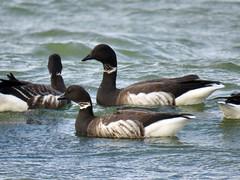 Brant (jubewakayama) Tags: goose brant brentgoose branta bernicla sea ocean seaofjapan black