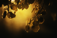 Autumn Tears (miss.interpretations) Tags: autumn fall leaves seasons memories remembrance sister loss sunlight droplets tears missingyou cancer colorado nature outdoor mountains quiet silence memory grief comfort chapters life gold warmth rain spiritual faith light