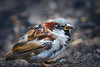 Little guy (Rico the noob) Tags: dof bokeh closeup d500 birds sparrow 70200mmf28 animal 2017 published zoo bird outdoor 70200mm animals eye stuttgart nature germany