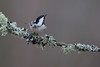 Coal tit (Andy Davis Photography) Tags: periparusater titwpenddu coaltit perched lichen mossy cloudy sunny woodland wfs1718