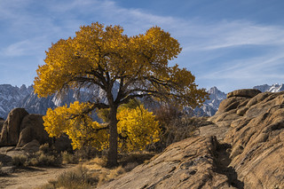 Lone Fall Cottonwood and Mount Whitney