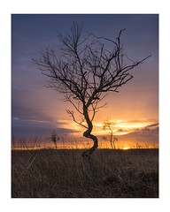 Recoiled (KRLandscapes) Tags: lee09ndgrad peakdistrict derbyshire tree sunrise sunset lone twisted a7ii sony