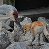 Flashed up on my screen saver (nickinthegarden) Tags: sandhillcranes burnabylakeparkburnabybc canada