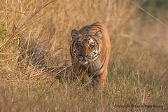 Bengal Tiger (Ian.Kate.Bruce's Wildlife) Tags: bengaltiger pantheratigris felidae tiger bigcats mammal wildlife nature ianbruce katebruce corbettnationalpark uttarakhand india