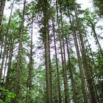 Washington Woods Tall Trees thumbnail