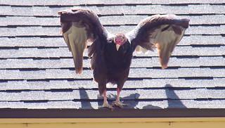 Turkey Vulture Intimidation Display