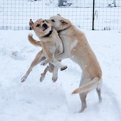 First Snow Day (Patrick Whittington) Tags: dogs germanshepherd alabama snow pentax