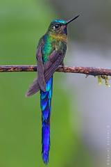 Cometa Colivioleta. Aglaiocercus Coelestis. Violet-Tailed Sylph. (Daniel Sziklai G.) Tags: amagusa magicbirding silfo celeste cometa colivioleta aglaiocercuscoelestis violettailed sylph aves birds hummingbird