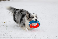 Luna First Snow 2017 2 (Kenjis9965) Tags: cardigan welsh corgi blue merle dog doge pupper doggo fluffy arctic outside snow playing canoneos7dmarkii canon70200f28l canon eos 7d mark ii 70200mm f28 is l usm cute sweet