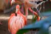 視線を感じる… (Yuri Yorozuna / 萬名 游鯏(ヨロズナ)) Tags: 円山動物園 札幌市円山動物園 動物園 maruyamazoo sapporomaruyamazoo zoo 動物 生き物 生物 animal 鳥類 鳥 フラミンゴ ピンク pink color 色 色彩 暖色 桃色 ピンク色 紅色 ベニイロフラミンゴ phoenicopterusruber americanflamingo flamingo birds 札幌 札幌市 sapporo 北海道 hokkaido japan pentaxsupertakumar135mmf35