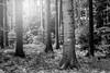 Portree (frank_w_aus_l) Tags: natur nature monochrome tree nikon d810 10514 nikkor light forest fog haze bw blackandwhite noiretblanc root wood dorsten nordrheinwestfalen deutschland de