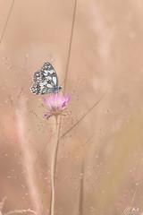 Belfort_0617-284-2 (Mich.Ka) Tags: belfort franchecomte butterfly extérieur fleur flower macro macrophotographie nature papillon plante proxyphotographie étangdesforges