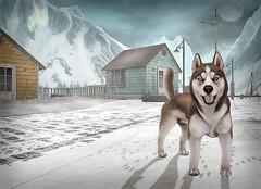 King of the North (Sparrow Michigan) Tags: husky malamute winter scandinavia greenland snow snowfall canine secondlife sl virtualworld