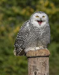 It's FRIDAY! (ORIONSM) Tags: snowy owl white portrait raptor animal bird prey snow smile laugh pentaxk3 sigma150500