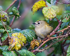 Goldcrest ( regulus regulus ) -  Taking shelter from the storm !! (Clive Brown 72) Tags: songbird wales shower rain storm bird brambles hedgerow tiny insectivore takingshelter goldcrest