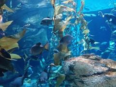 Pacific kelp forest (1) #toronto #ripleysaquarium #aquarium #fish #kelp #pacifickelp #latergram (randyfmcdonald) Tags: fish ripleysaquarium kelp latergram pacifickelp aquarium toronto
