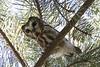 Northern Saw Whet Owl (jackalope22) Tags: owl saw whet bird nature pine ida grove nothern