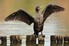 Cormorant (Teruhide Tomori) Tags: takaragaikepond kyoto bird nature water aquaticbird wild animal rakuhoku japan japon cormorant wing 鵜 宝ヶ池 野鳥 鳥 水鳥 京都 日本 自然
