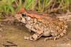 Sclerophrys capensis  Raucous Toad. From Mooi River, Kwa-Zulu Natal. (Tyrone Ping) Tags: sclerophrys capensis mooiriver kwazulunatal raucous toad frog frogs frogging toads kwazulu nature natural canon closeup close 5dmiii life natal wild wildlife wildherps wildanimals tyroneping wwwtyronepingcoza 100mmmacrof28 mt24ex macro southafrica southenr africa africans river water curte creature creatures amphibians amphibian animals amazing love