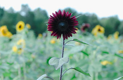 """Sunflower • <a style=""""font-size:0.8em;"""" href=""""http://www.flickr.com/photos/129579084@N06/24427066378/"""" target=""""_blank"""">View on Flickr</a>"""