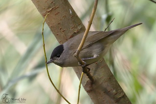 Blackcap in Hasenheide Park, Berlin