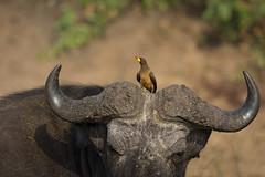Vampire of Savannahs (soumabrata.m) Tags: yellowbilledoxpecker ©soumabratamoulick buphagusafricanus endemic africa birdsofuganda birdsofafrica capebuffalo birdphotography bird queenelizabethnationalpark uganda kazinga