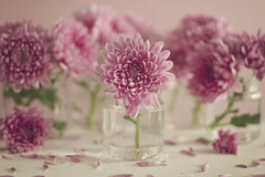 Para Inma (Ali Llop) Tags: chrysanthemum color flower nature bright floral beauty beautiful closeup bloom flora bouquet blossom petal freshness fresh purple pink plant garden colorful blooming spring