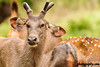 Deer Safari, Anna Zoological Park, India (rvk82) Tags: 2016 animals annazoologicalpark chennai deer india june2016 nikkor200500mm nikon nikond500 photography rvk rvkphotography southindia vandalur vandalurzoo wildlife rvkonlinecom rvkphotographycom tamilnadu in