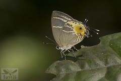 Terenthina terentia ( BlezSP) Tags: lycaenidae peru puertomaldonado madrededios faunaforever boca pariamanu