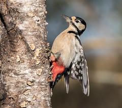 22 11 2917 (cathyk31) Tags: picépeiche oiseau dendrocoposmajor greatspottedwoodpecker picidés piciformes bird