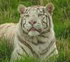 P4275433 (garrygeezer) Tags: whitetiger bigcat predator carnivore nature hamerton garrychisholm