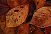 20171126_DP3M3442 (NAMARA EXPRESS) Tags: closeup leaf leaves deadleaf fallenleaves deadleaves tripod daytime autumn cloudy outdoor color toyonaka osaka japan foveon x3 sigma dp3 merrill namaraexp