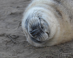 Grey Seal Pup (mikedenton19) Tags: grey seal greyseal halichoerus grypus halichoerusgrypus pup young donna nook donnanook nature reserve naturereserve lincolnshirewildlifetrust lincolnshire wildlife trust lwt sleep sleeping louth baby