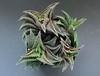 Haworthia 'Onigawara', nigra x koelmaniorum, Japan cv. (ex S.T.C./Netherland 81235, 21.11.2013) (igormilekhin) Tags: haworthia onigawara nigra koelmaniorum japan cultivar succulent plant indoor leaf stc