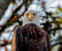 """REALLY?""  :-) (swingaweigh) Tags: raptors raptor baldeagles eagles eagle baldeagle"