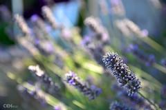 Toscana Lavender